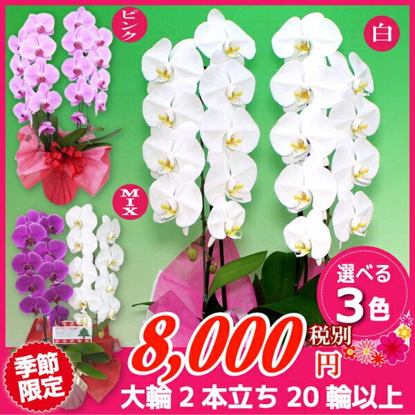 大輪胡蝶蘭2本立ち3色20輪以上 各種お祝いお供えに