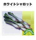 【藤田種子】ホワイトシャロット野菜のタネ