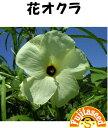 【藤田種子】花オクラ野菜のタネ