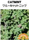 【藤田種子】ブルーキャットニップ(キャットミント) ハーブ種