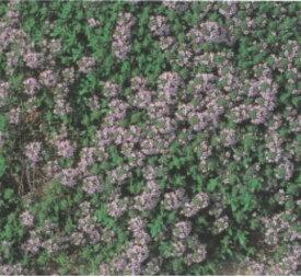【藤田種子】クリーピングタイムハーブ種
