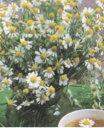 【藤田種子】ローマンカモミール ハーブ種