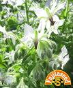【藤田種子】ホワイトボリジハーブ種