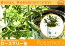 Rosemary2