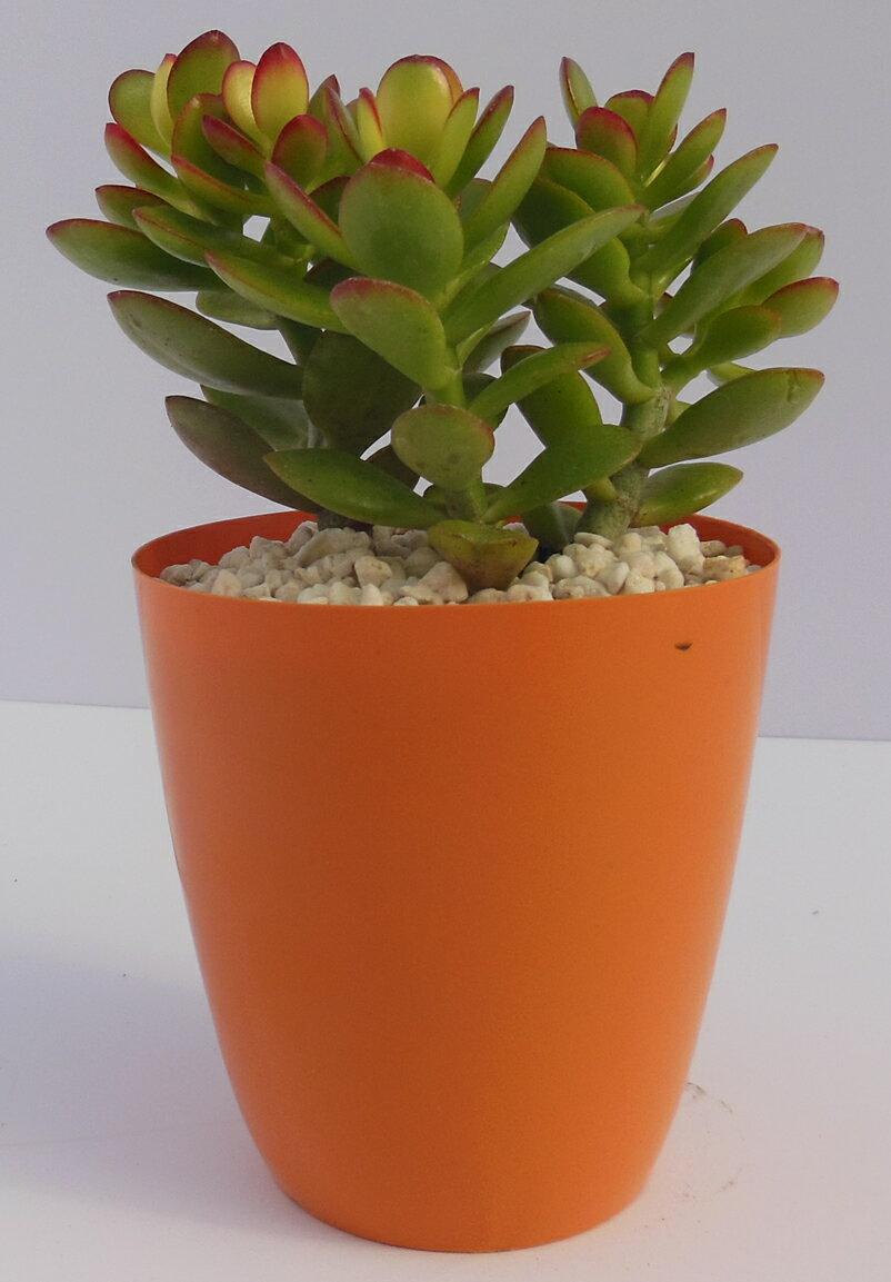 金のなる木(姫花月)10.5cm丸鉢 クラッスラ属