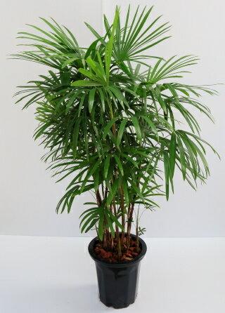 シュロチク10号 観葉植物プレゼントに最適 生産者出荷