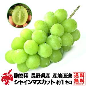 9月中旬より 贈答用 ぶどう シャインマスカット 約1kg 種無し 皮ごと 2房 1000g前後 送料無料 長野県産 産地直送 葡萄 ブドウ