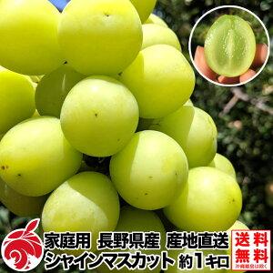 9月中旬より 家庭用 ぶどう シャインマスカット 約1キロ 2房 種無し 皮ごと 1kg 等級B 送料無料 長野県産 産地直送 葡萄 ブドウ