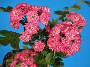 サンザシ 紅花八重咲 実成り種 (葉イタミあり)接小上苗20〜30センチ 箱サイズの関係で送料がかわります。80サイズ