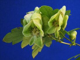 緑花 山トリカブト 9cmポット葉イタミ有 来期開花見込(植込)苗珍品 山野草 鉢植 宿根草 斑入 花木