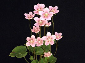 ウメバチ草桃花開花終了 小上苗