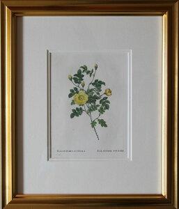 絵画 ルドゥーテ ボタニカルアート EGLANTERIA LUTEOLA  珍しい黄色の原種薔薇 第二版 薔薇図鑑版画  1824