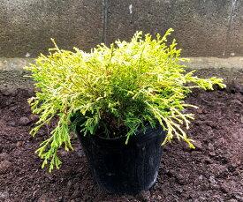 ゴールデンモップ10Potセット(733円/Pot・送料無料)常緑低木苗 15.0cmVP(大株) コニファー 黄葉 カラーリーフ