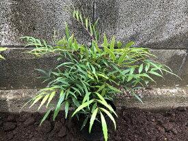 マホニア・コンフューサ3Pot(1324円/Pot・送料無料)常緑低木苗 15.2cmVP(大株) 黄花