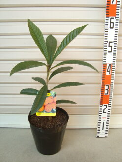 1st grade rootstocks loquat and giant FSA [fruit tree seedlings and biwajima / Biwa]