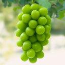 【シャインマスカット】1年生ウイルスフリー接木苗ブドウ[果樹苗木・葡萄・ぶどう]