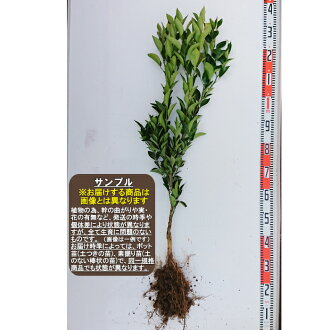 ※I am going to send it out after the middle of March, 2019 ※Openair mining seedling second grader grafted tree seedling citrus fruit [fruit tree young plant, citrus fruit, mandarin orange]