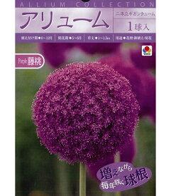 秋植え球根 アリューム藤桃「二本立ギガンチューム」1球入 ピンクパープル アリウム