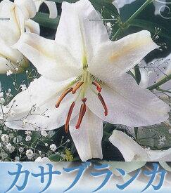 【30%off!!】秋植え球根〜春植えカサブランカ 1球入り