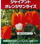 秋植え球根超巨大チューリップ【ジャイアントオレンジサンライズ】16cmUP!1球