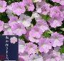 【花苗販売3月末〜発送】杉井明美さんのペチュニアさくらさくらトロピカルティー9cmポット苗