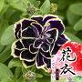 【花苗販売4月上旬〜発送】ペチュニア花衣〜はなごろも〜黒真珠10.5cmポット苗