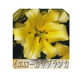 【30%off!!】秋植え球根〜春植え イエローカサブランカ(コンカドール)1球入り