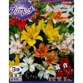 秋植え球根〜春植え 八重咲きすかし百合【プリマドンナ 混合】3球入り