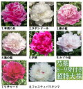 秋植え球根 芍薬 8〜9芽つき 超特大株 しゃくやく