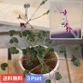 ペラルゴニウム シドイデス 3.5号 3.5寸 3ポットセット 苗 イングリッシュ ゼラニウム  宿根草 花苗 乾燥 暑さに強い 耐暑性 夏  多年草 【送料無料】