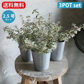 「 コプロスマ キルキィ 」 苗 2.5号 2.5寸 常緑低木 寄せ植え アクセント カラーリーフ 【送料無料】