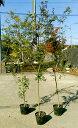 S4-イロハモミジ 単木 樹高1.8m前後 ポット苗