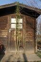 希少!綺麗な竹 キンメイチク・金明竹 樹高2.0m前後 株立ち!【あす楽対応_九州】
