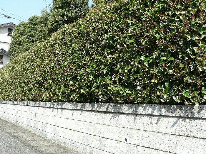 ヒイラギモクセイ(柊木犀) 樹高1.0m前後 ポット苗 シンボルツリー 常緑樹
