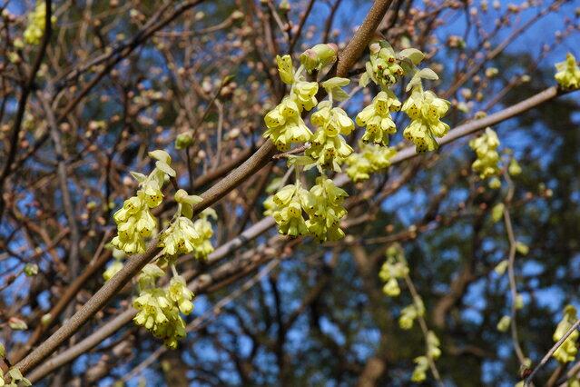 S3-トサミズキ(黄色花) 樹高1.2m前後 露地苗