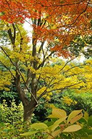 【大型商品】エノキ(榎) 単木 樹高2.5m前後 露地苗 シンボルツリー 落葉樹