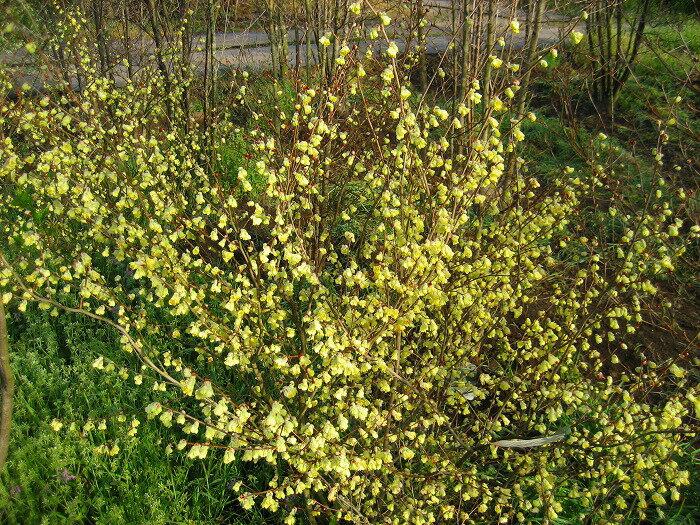 S3-ヒュウガミズキ(黄色花)樹高80cm前後 露地苗