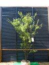 ハイノキ 株立 樹高1.8m前後 露地苗 シンボルツリー 常緑樹