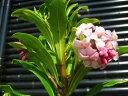 S2-ジンチョウゲ(花色おまかせ)樹高50cm前後 露地苗