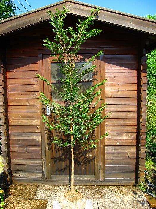 S4-ヒメシャラ 単木 樹高1.8m前後