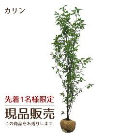 [現品販売]カリン(花梨) 樹高2.5m前後 露地苗 シンボルツリー 落葉樹