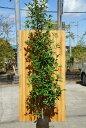 レッドロビン(ベニカナメ)樹高2.0m前後♪生垣に人気の樹木☆【あす楽対応_九州】