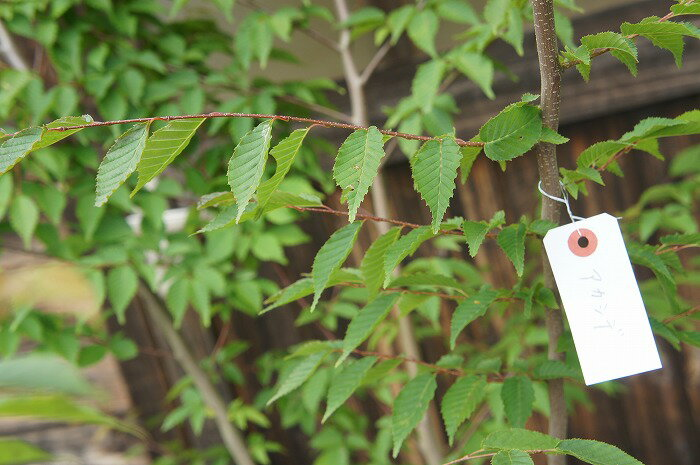 【木曜日発送】アカシデ 単木 樹高2.5m前後
