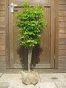 ドウダンツツジ 樹高60〜80cm前後 露地苗