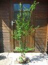 ハイノキ 株立 樹高1.2m前後 露地苗 シンボルツリー 常緑樹