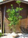 ソヨゴ 樹高1.8m 高価な株立ち【雄雌選択不可】【あす楽対応_九州】