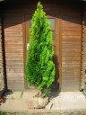 エレガンテシマ 樹高1.8m前後 育てやすい・人気のコニファー♪【あす楽対応_九州】