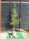 スダジイ 樹高1.8m前後 露地苗 シンボルツリー 常緑樹