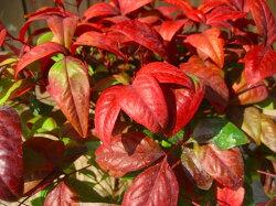冬の霜にあたると赤さが出ます。