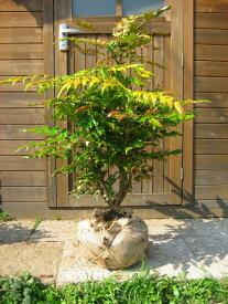 ヒイラギナンテン(柊南天) 樹高0.8m前後 露地苗 低木 常緑樹